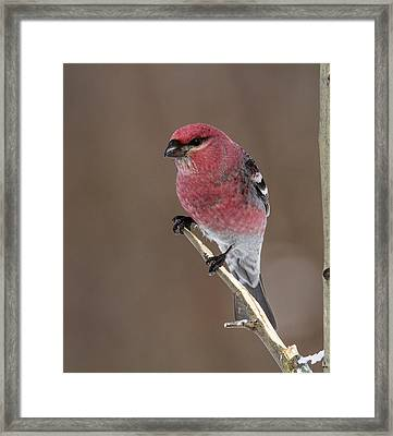 Pine Grosbeak Framed Print