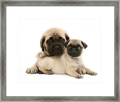 Pug And English Mastiff Puppies Framed Print by Jane Burton