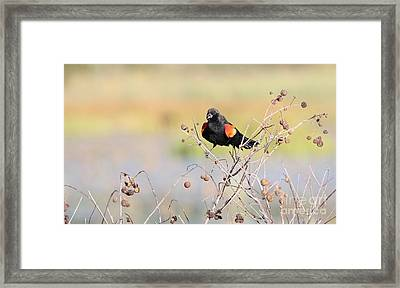 Framed Print featuring the photograph Red-winged Blackbird by Jack R Brock