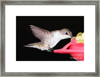 Ruby Throated Hummingbird Framed Print by Steve Javorsky