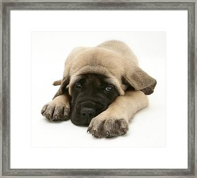 Sleeping Puppy Framed Print by Jane Burton