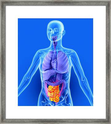 Small Intestine, Artwork Framed Print by Roger Harris