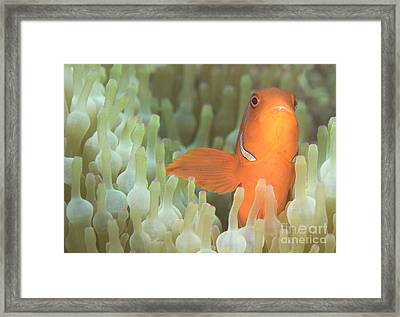 Spinecheek Anemonefish In Anemone Framed Print by Steve Jones