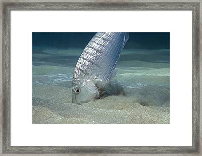 Striped Seabream Searching For Prey Framed Print by Angel Fitor