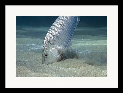 Striped Seabream Framed Prints