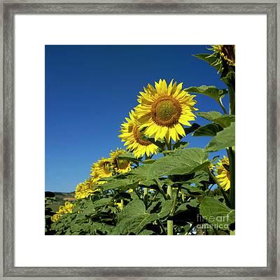 Sunflowers  Framed Print by Bernard Jaubert