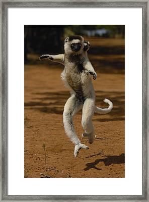 Verreauxs Sifaka Propithecus Verreauxi Framed Print by Pete Oxford