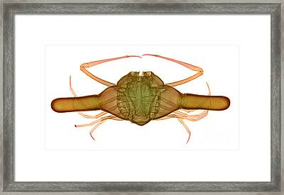 X-ray Of Deep Water Crab Framed Print by Ted Kinsman