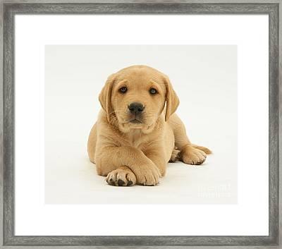 Yellow Labrador Puppy Framed Print