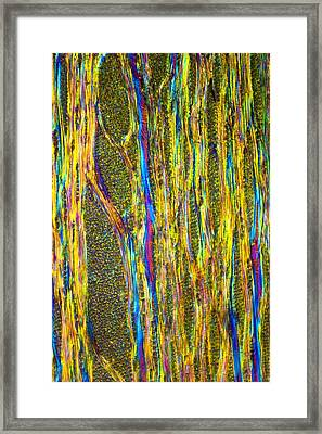 Beech Tree Stem, Light Micrograph Framed Print by Dr Keith Wheeler