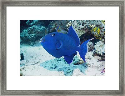 Blue Triggerfish Framed Print by Georgette Douwma