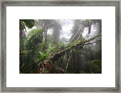 Bromeliad Bromeliaceae And Tree Fern Framed Print by Cyril Ruoso