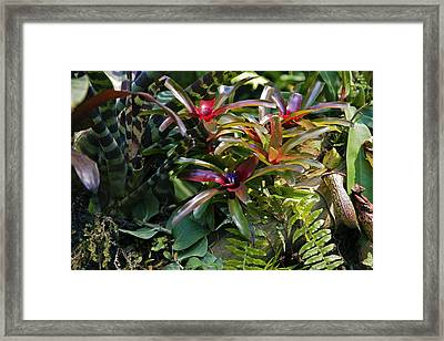Bromeliad Plant Framed Print by Dr Keith Wheeler
