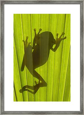 Chachi Tree Frog Hyla Picturata Framed Print by Pete Oxford