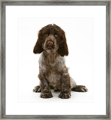 Cocker Spaniel Puppy Framed Print by Mark Taylor