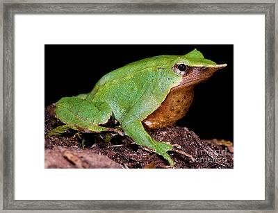 Darwins Frog Framed Print by Dante Fenolio