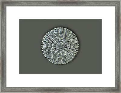 Diatom, Light Micrograph Framed Print by Frank Fox