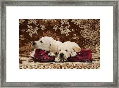 Goldidor Retriever Puppies Framed Print by Jane Burton
