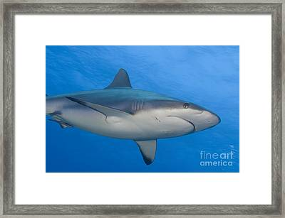 Gray Reef Shark. Papua New Guinea Framed Print by Steve Jones