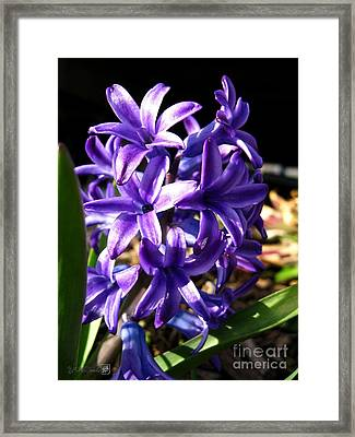 Framed Print featuring the photograph Hyacinth Named Peter Stuyvesant by J McCombie
