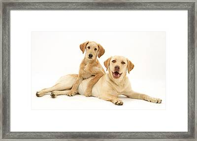 Labradoodle And Labrador Retriever Framed Print by Jane Burton