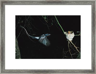 Madagascar Paradise Flycatcher Framed Print by Cyril Ruoso