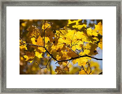 Maple Framed Print by Igor Sinitsyn