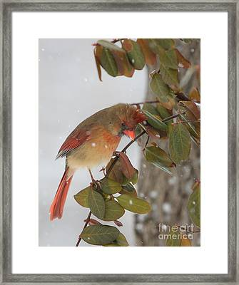 Framed Print featuring the photograph Northern Cardinal by Jack R Brock