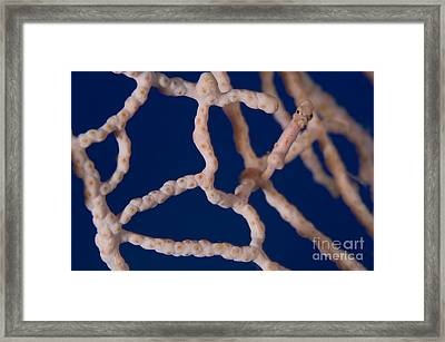 Pygmy Seahorse On Sea Fan, Papua New Framed Print by Steve Jones