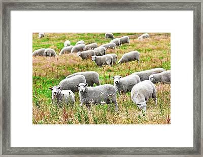 Sheeps Framed Print