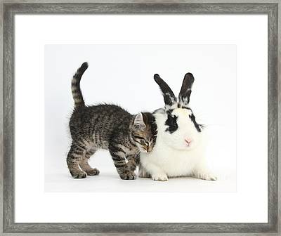Kitten And Rabbit Framed Print by Mark Taylor