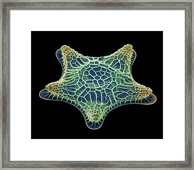Diatom Alga, Sem Framed Print