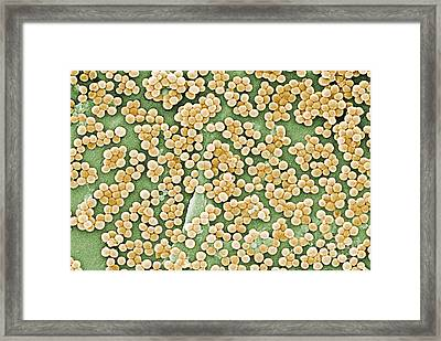 Methicillin-resistant Staphylococcus Framed Print by Science Source