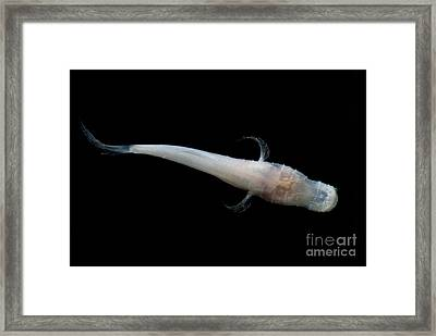 Alabama Cavefish Framed Print by Dante Fenolio