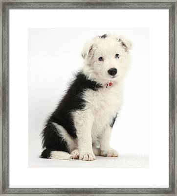Border Collie Puppy Framed Print by Mark Taylor