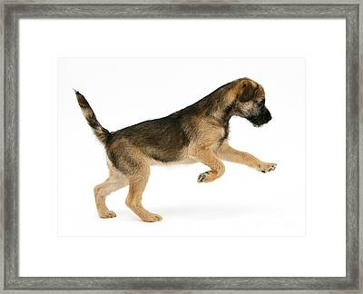 Border Terrier Puppy Framed Print
