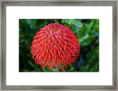 Common Pincushion Protea Framed Print