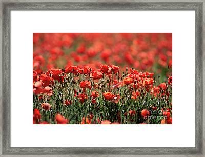 Field Of Poppies. Framed Print by Bernard Jaubert