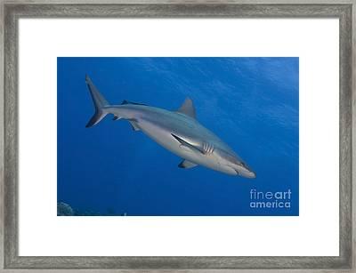 Gray Reef Shark. Papua New Guinea Framed Print