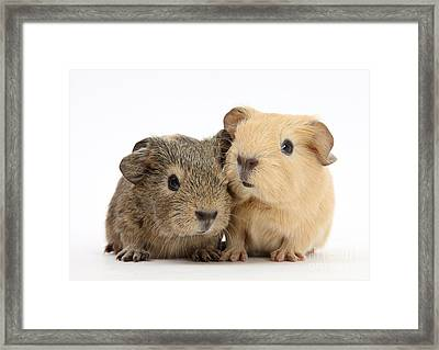 Guinea Pigs Framed Print by Mark Taylor