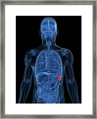 Healthy Spleen, Artwork Framed Print by Sciepro