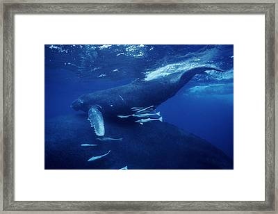 Humpback Whales Framed Print by Alexis Rosenfeld