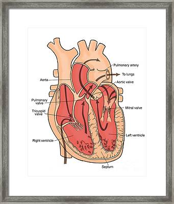 Illustration Of Coronary Circulation Framed Print