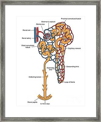 Illustration Of Nephron Framed Print