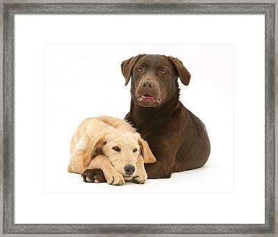 Labradoodle And Labrador Retriever Framed Print by Jane Burton