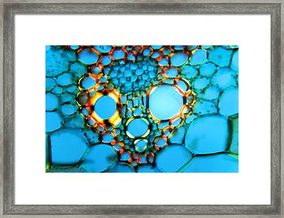 Maize Stem, Light Micrograph Framed Print by Dr Keith Wheeler