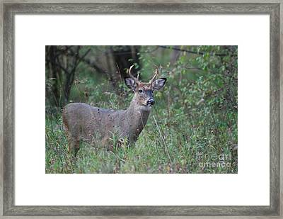 6 Point Buck Framed Print by David Murray