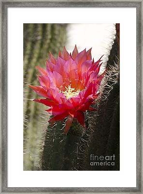 Red Cactus Flower Framed Print by Jim and Emily Bush