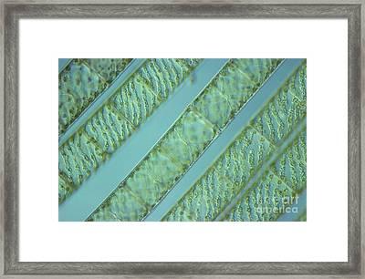Spirogyra Sp. Algae Lm Framed Print by M. I. Walker