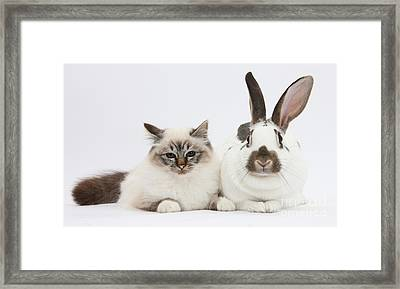 Tabby-point Birman Cat And Rabbit Framed Print by Mark Taylor